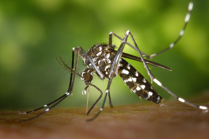 tiger-mosquito